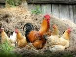 Кормовая добавка GFO для домашней птицы - фото 1