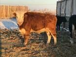 КРС, Бычки, мясо, мал, говядина - фото 7