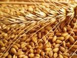 Кукуруза фуражная, пшеница, отруби пшеничные - photo 2
