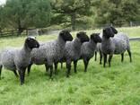 Овцы, ягнята жывой вес - фото 2