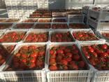 Pomidor - фото 5