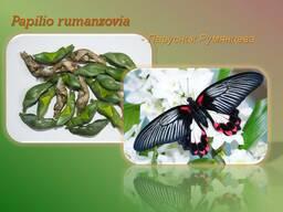 Продажа куколок тропических бабочек, коконы бабочек, ферма