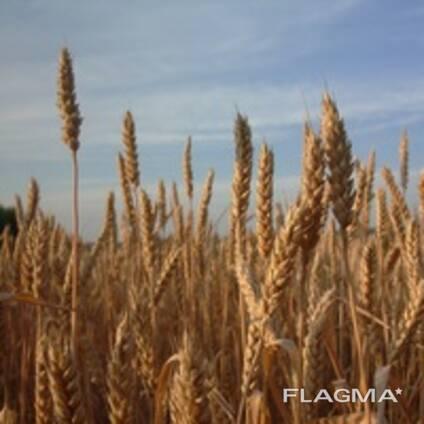 Пшеница мягкая, пшеница твердая