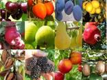 Саженцы сортов плодовых деревьев - photo 2